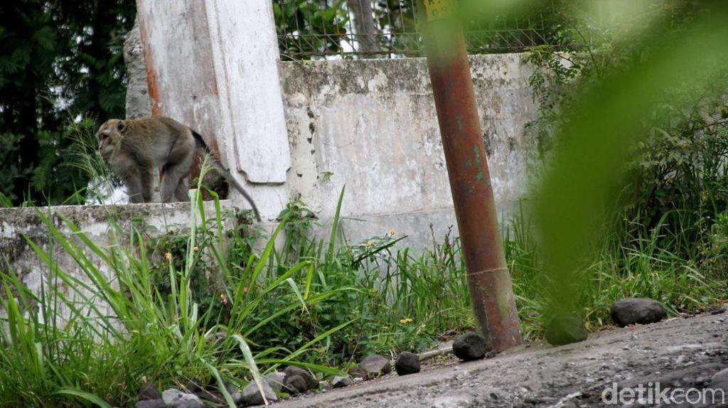 Monyet Turun ke Permukiman Lereng Merapi, Pertanda Apa?