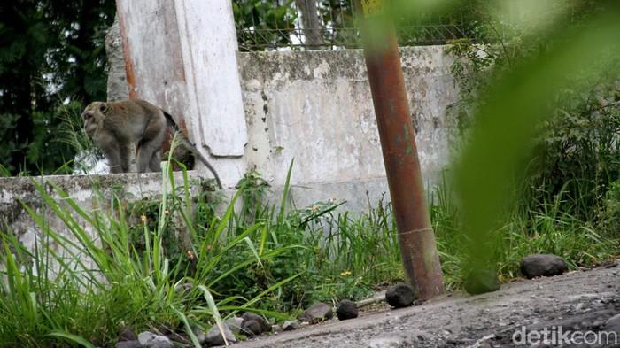 Sejumlah monyet berkeliaran di area sekitar permukiman warga di Klaten. Kehadiran monyet-monyet di area permukiman warga itu diketahui untuk mencari makanan.