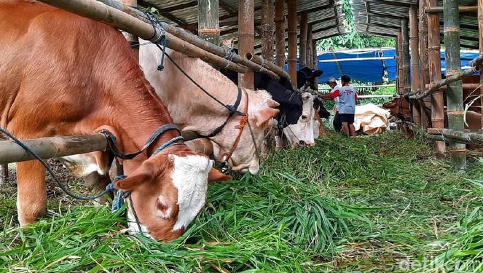 Sejumlah hewan ternak milik warga yang berada di area rawan bencana Merapi dievakuasi ke kandang komunal. Lokasi kandang itu ada di dekat barak pengungsi Merapi