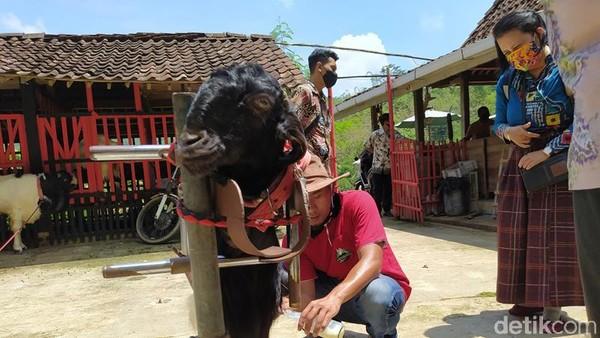 Desa Ngargoretno di Magelang berhasil mengembangkan wisata edukasi perah susu kambing etawa. Wisatawan pun banyak yang berkunjung ke desa ini, baik lokal maupun mancanegara.