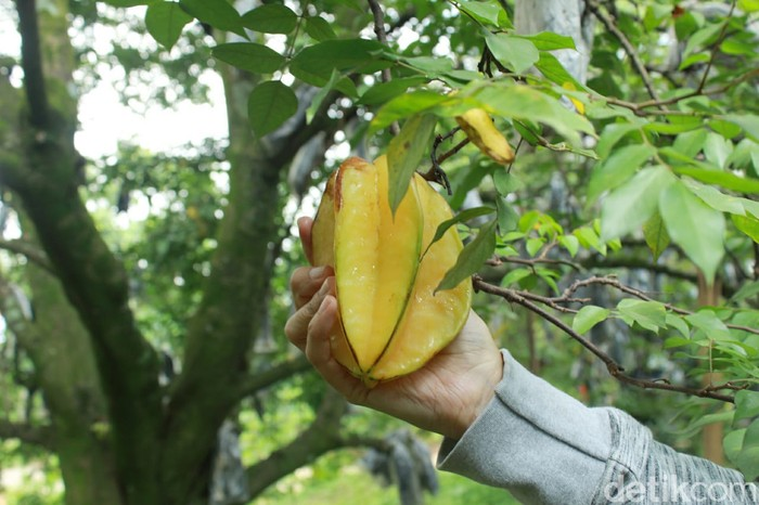 Pekarangan Rumah Disulap Jadi Kebun Belimbing Dewa yang Menguntungkan