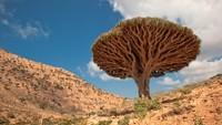 Pohon Darah Naga, Tumbuh di Tempat Alien di Bumi