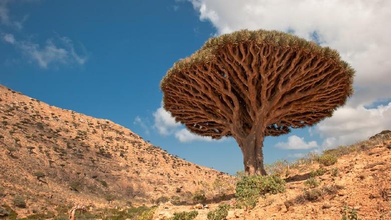 Pulau Socotra dan pohon darah naga