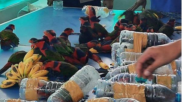 Mengutip AFP, Senin, (23/11/2020) puluhan burung malang yang dimasukkan dalam botol plastik itu ditemukan pihak berwenang pada hari Jumat. Burung yang diselundupkan dalam botol plastik itu adalah burung nuri atau kasturi kepala hitam asli New Guinea dan pulau-pulau kecil di dekatnya. Istimewa/ BBC Magazine