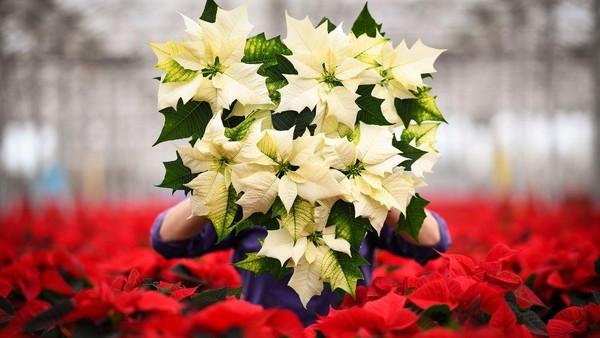 Nama poinsettia diambil dari nama duta besar pertama Amerika Serikat untuk Meksiko, Joel Roberts Poinsett, yang memperkenalkan tanaman hias ini ke AS pada tahun 1825.