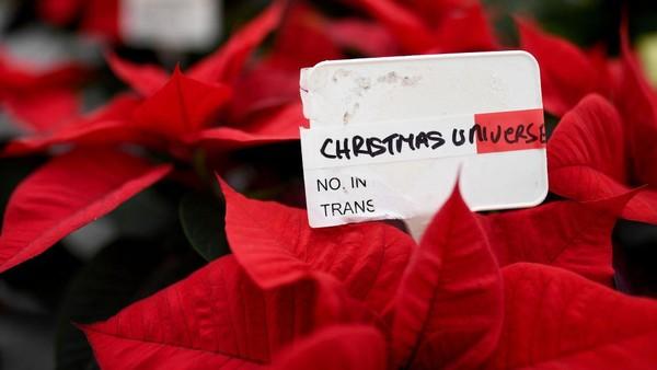 Selain cemara, Poinsettia (Euphorbia pulcherrima) juga identik dengan Natal sehingga bunga ini disebut Bunga Natal (Christmas flower).