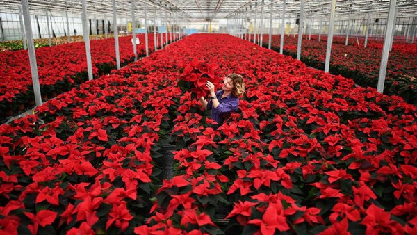 Carolyn Spray menanam sekitar 100.000 Poinsettia di kebun miliknya.