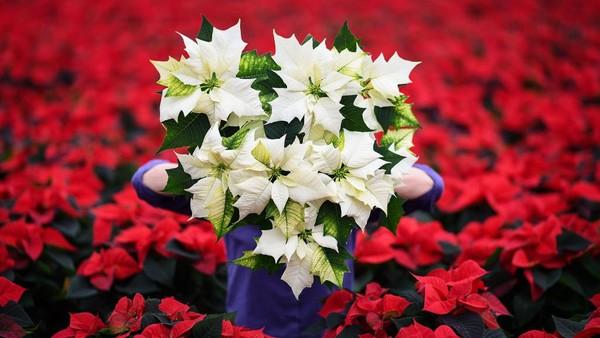 Carolyn memasok bunga-bunga cantik ini untuk dikirim ke seluruh Skotlandia dan bagian utara Inggris pada saat Natal.