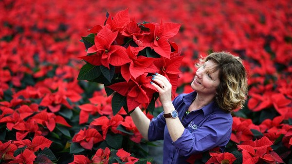 Carolyn Spray memegang salah satu dari banyak tanaman Poinsettia-nya yang siap dikirim untuk musim Natal di pusat taman Pentland Plants di Loanhead, Skotlandia.