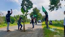 Protes 5 Tahun Tak Diurus, Jalan Berlubang di Jember Ditanami Pohon Pisang