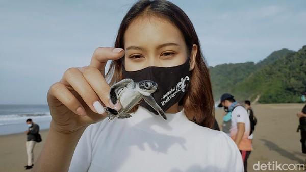 Inilah tukik penyu lucu yang akan dilepasliarkan di Pantai Sukamade, Banyuwangi. Pantai ini memang terkenal jadi lokasi favorit penyu untuk bertelur. Di sini juga ada usaha penangkaran penyu agar tidak punah.