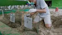 Telur-telur penyu itu lalu dibawa ke penangkaran untuk ditetaskan. Upaya penangkaran telur-telur penyu di Sukamade dilakukan untuk menghindari dari serangan predator yang ada di kawasan Taman Nasional Meru Betiri.