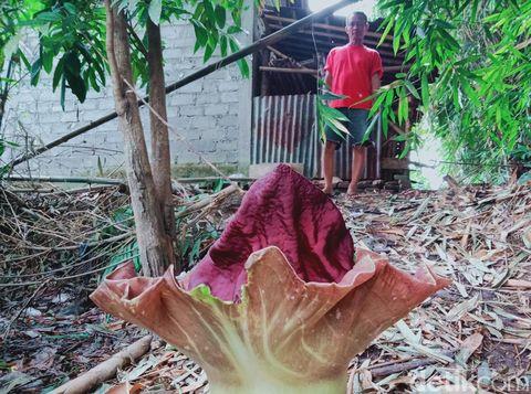 Bunga Suweg tumbuh di Kecamatan Ngawen, Klaten, Senin (23/11/2020).