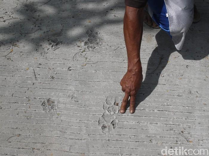 jejak tapak kaki satwa diduga macan yang ditemukan warga di jalur evakuasi Gunung Merapi, Glagaharjo, Sleman, Yogyakarta, Senin (23/11/2020).
