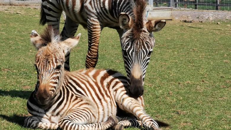 Bayi zebra bernama Hope mati karena kaget suara kembang api