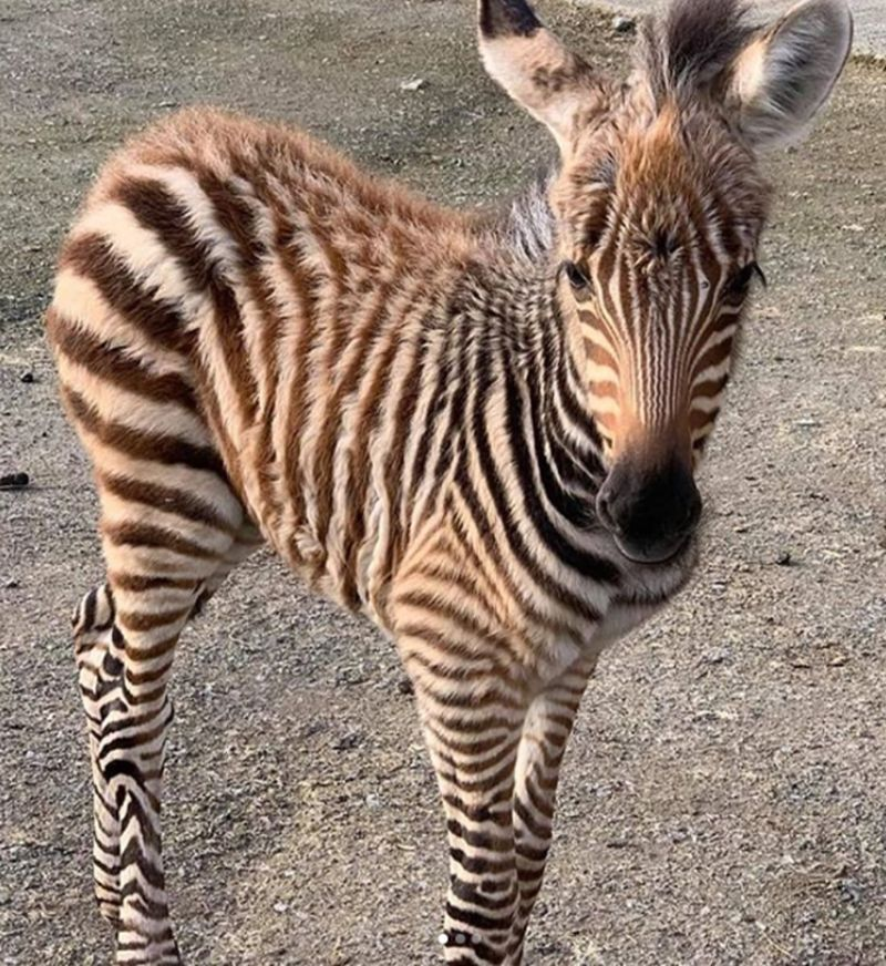 Bayi zebra bernama Hope mati karena kaget suara petasan