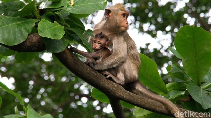 Sejumlah monyet ekor panjang jadi penghuni kawasan Muara Angke. Keberadaan hewan mamalia itu jadi pemandangan menarik di tengah padatnya kehidupan Kota Jakarta.