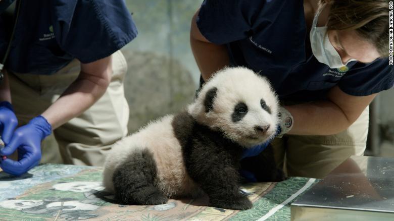 Panda Xiao menjadi kesayangan warga Washington