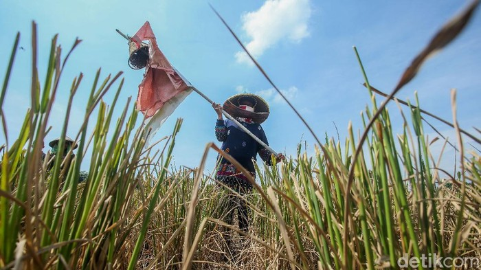 Sejumlah petani memanen padi di Cikarang, Jawa Barat. Meski panen kali ini terbilang cukup, tapi para petani ini tetap menjerit. Kenapa?