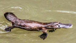 Platipus, Hewan Asli Australia Terancam Punah Menurut Penelitian Terbaru