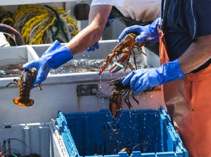 Begini Gurihnya Bisnis Benih Lobster di RI yang Bikin Edhy Prabowo Terlena