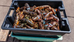 Daerah Asal Benih Lobster, Dari Mana Sebenarnya?