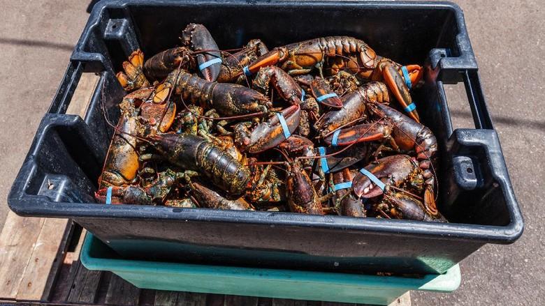 Benih Lobster dan Harga Lobster Mahal, Ini 5 Penyebabnya