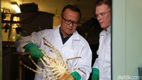 Melihat Lagi Kebijakan Ekspor Benih Lobster Menteri KKP Edhy Prabowo