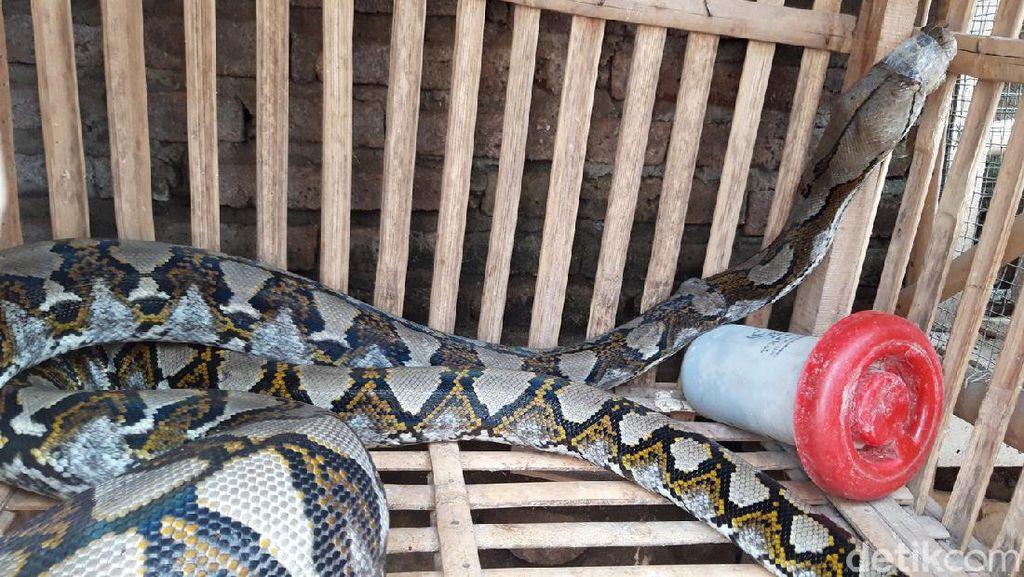 Hii..! Piton 3,5 Meter Ditangkap Usai Mangsa Ternak di Boyolali