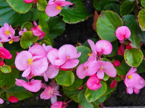 Begonia semperflorens red flowers with green