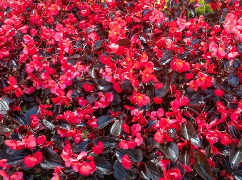Bogota, Colombia - The Capital city of Colombia located at an altitude of about 8500 feet above mean sea level, creates the right climate for a variety of flowers. Image shows a healthy flower bed of red Begonias by the roadside in the morning sunlight. Image shot on mobile phone.