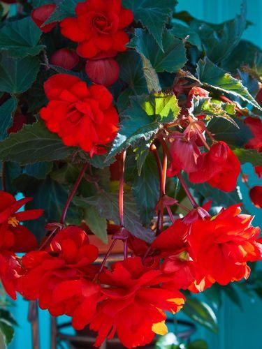 Numerous bright flowers of tuberous begonias (Begonia tuberhybrida) in garden.