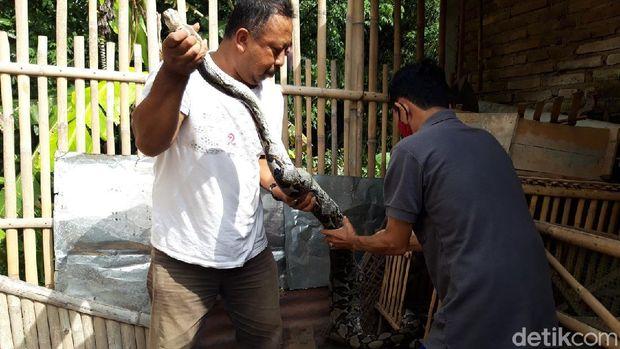 Ular piton yang ditangkap setelah memangsa ayam di kandang warga, Kampung Belakan, Kelurahan Siswodipuran, Kecamatan Boyolali, Boyolali, Rabu (25/11/2020).