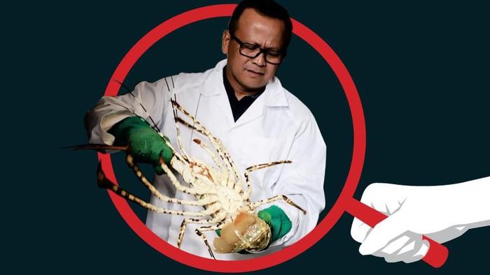 Kejanggalan Ekspor Benih Lobster