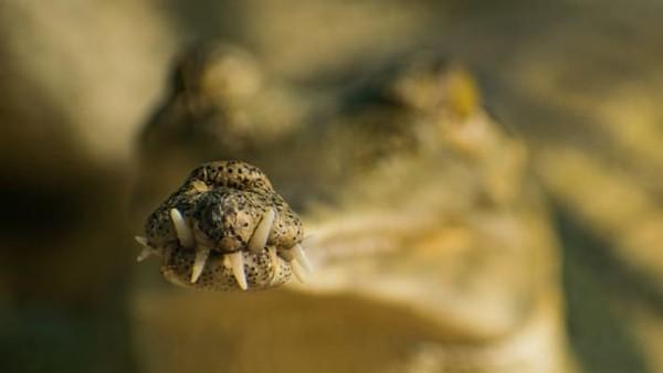 Sebastian Hoefer memfoto m oncong gharial yang mungkin terlihat aneh, tetapi membantu buaya ini menangkap dan menggit ikan.
