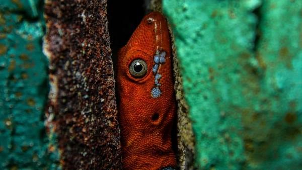 Khristian Venegas-Valencia memotret Gonatodes albogularis, tokek dataran rendah yang sulit ditangkap, bersembunyi di kusen pintu di Cagar Alam Río Claro, Kolombia.