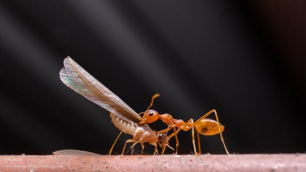 John Benjamin Owens memfoto seekor rayap dan semut di India.