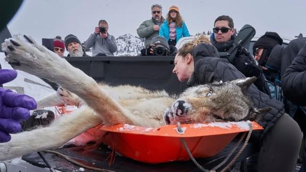 Seorang mahasiswa meneliti serigala yang terbunuh dalam duel di Yellowstone National Park, AS. Ini karyaPeter Hudson.