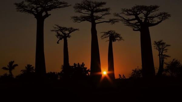 Anak-anak bermain di antara pohon baobab. KaryaElena Racevska.