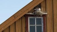 Seekor Kittiwake Berkaki Hitam (Rissa tridactyla) bersarang di sebuah bangunan di Varanger, Norwegia. Karya Alwin Hardenbol.