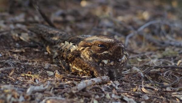 Seekor nightjar, species burung nokturnal, dipotret di Berenty Reserve, Madagaskar. Ini karyaElena Racevska.