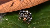 Laba-laba lompat (family Salticidae) karyaSam J England. Hewan ini dipotret di Kostarika.