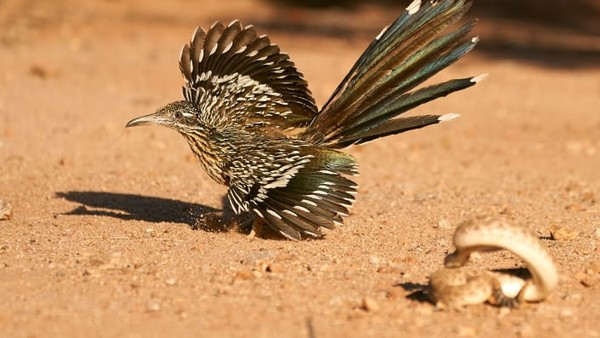 Foto burungroadrunner yang akan memangsa ular karya Peter Hudson. Habitatnya di selatan hingga Amerika bagian tengah.