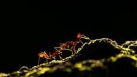 Semut yang saling bahu membahu membangun ekosistemnya. Foto karyaUpamanyu Chakraborty.