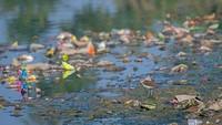 Sepasang burung amplas terlihat mencari makan di antara air limbah. Foto karya Nilanjan Chatterjee.