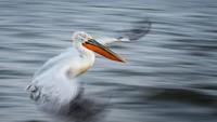 Pemenang keseluruhan kompetisi British Ecological Society 2020 adalah gambar burung pelikan dalmatian yang sedang terbang dan akan mendarat ke air. Karya ini dijepret oleh Alwin Hardenbol.