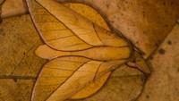 Ngengat Oiticella convergens berkamuflase pada daun-daun yang gugur di Laguna Blanca, Paraguay. Foto karya Gabor Pozsgai.