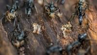 Semut Matabele (Megaponera analis), dikenal suka berburu rayap. Foto karya Michal Smielak.