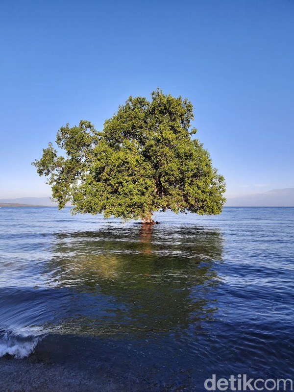 Ada sebuah pohon mangrove di tengah lautan, namanya pohon jomblo karena cuma sendirian. (Dokumen Pokdarwis Desa Malaju)