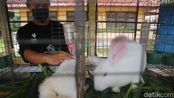 Petugas juga melakukan perawatan terhadap kelinci secara rutin.